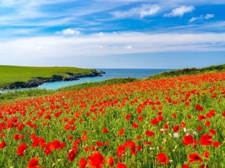 Field of Poppies above Porth Joke, Newquay