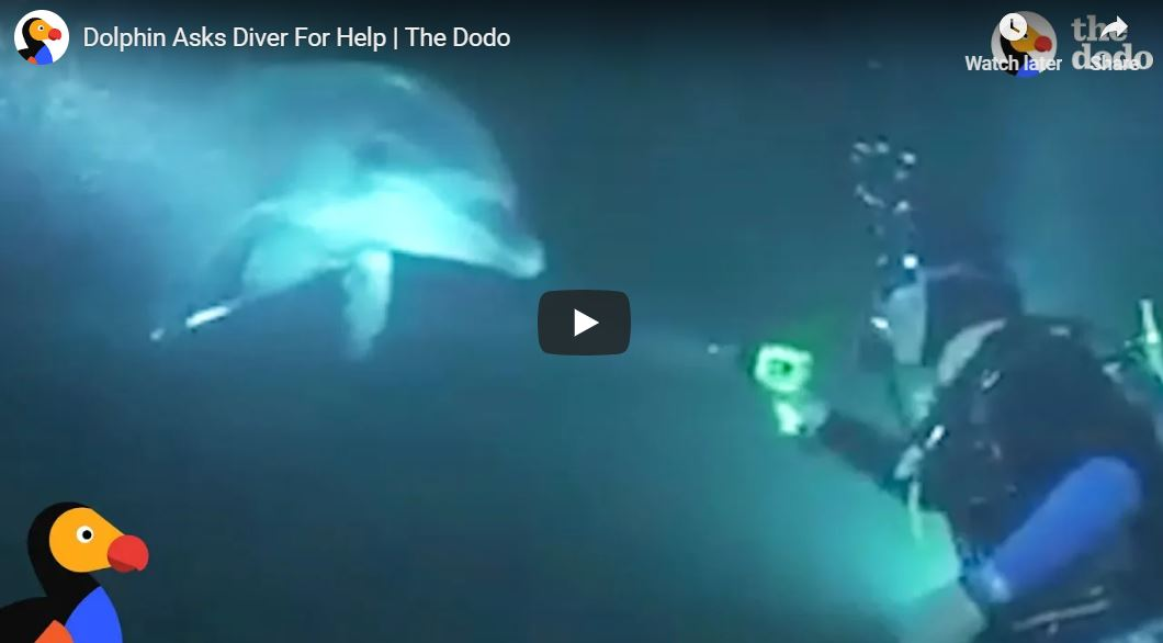 A diver was in the sea when a dolphin swam up to him, asking for urgent help