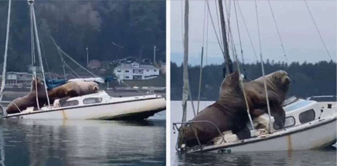 Over 2 Tonnes of Sea Lion nearly sink a sailing boat! Video