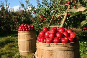 Cornish Orchards | Cornish Cider